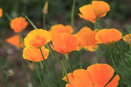 Eschscholtzia of California, california poppy Stock Photo - 9552836