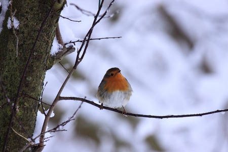 robin in the snow   photo