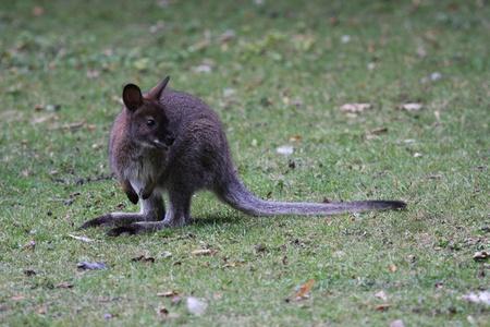 bennett: Bennett Wallaby, Kangaroo