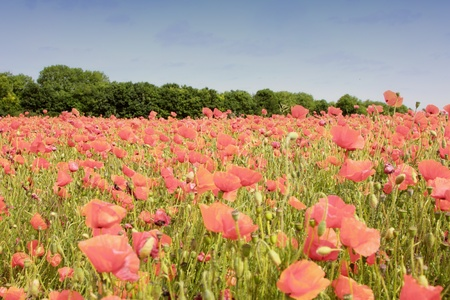 field of poppies in rose color  photo
