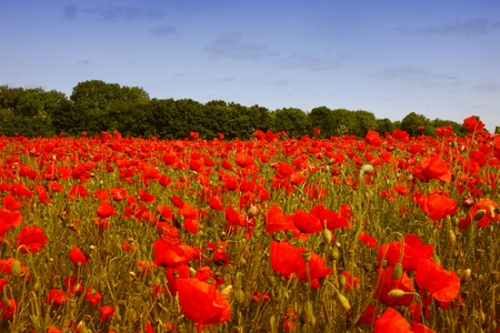 fields of poppies photo