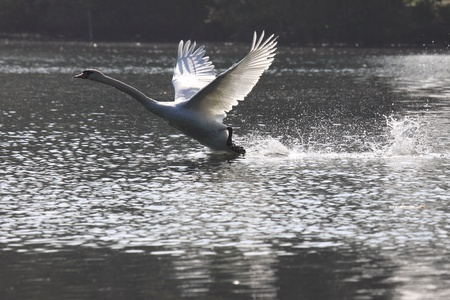 flying float: Landing of a swan mute in france
