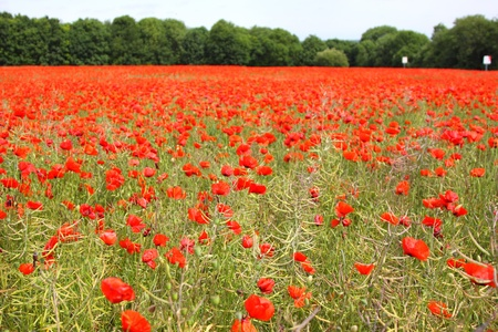Fields of poppies in spring in France photo