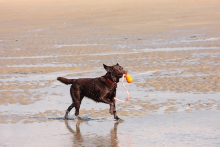 brown labrador playing on a sandy beach photo