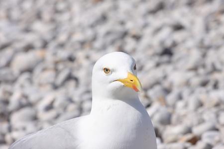 shingle beach: portrait of a seagull on shingle beach