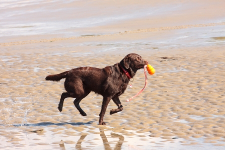 brown labrador playing on a sandy beach photo
