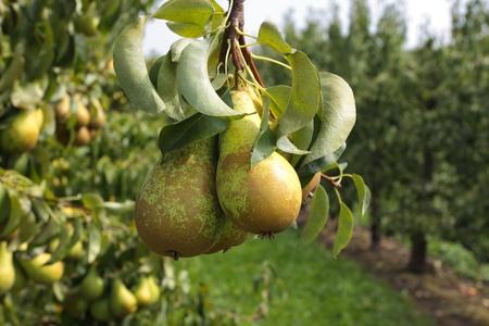 梨: ナシの木、太陽の下で果樹園で果物を積んだ 写真素材
