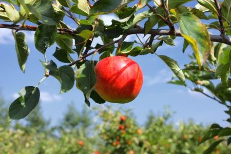 Mooie rode appel op een tak onder een blauwe hemel Stockfoto