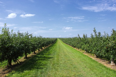 apple trees loaded with apples in an orchard in summer Stock Photo - 10475534