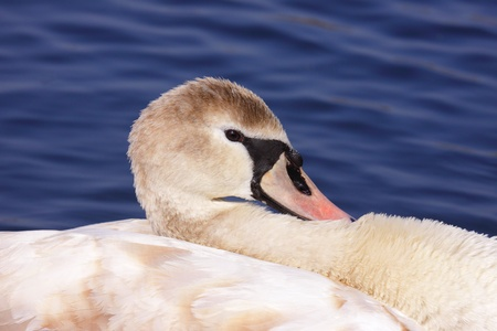 a young mute swan make her toilet. his attitude is soft photo