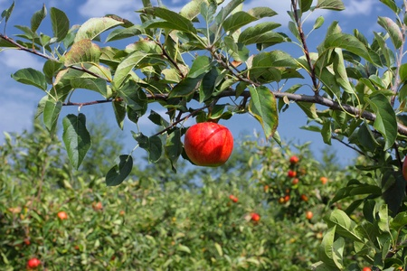 Beautiful red apple on a branch under a blue sky Stock Photo - 10620092