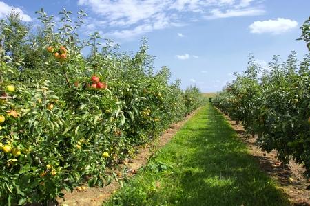 arbol de manzanas: manzanos cargan con manzanas en un huerto en verano Foto de archivo