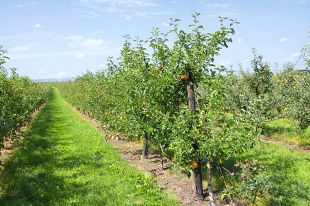 apple trees laden with fruit in an orchard in the sun Banque d'images