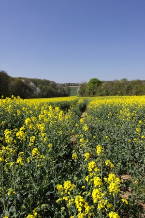 landscape of a rape fields in bloom in spring in the countryside photo