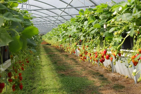 culture in a greenhouse strawberry and strawberries Stock Photo - 10722615