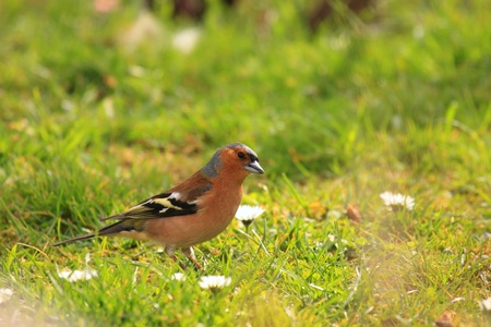 chaffinch: chaffinch wood with beautiful colors
