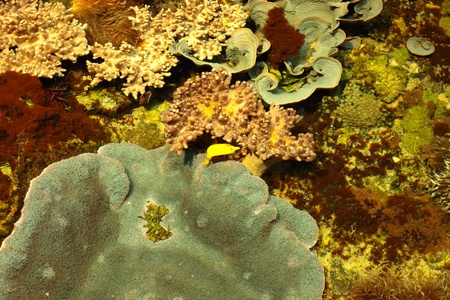 tropical marine reef with corals and fish Surgeons photo