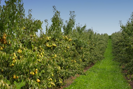 perenboomgaard, geladen met peren onder de zomerzon