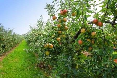 appelboomgaard in de zomer, bedekt met kleurrijke appels Stockfoto