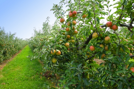 apple orchard in summer, covered with colorful apples photo