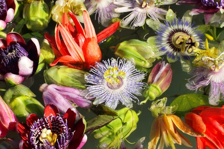 different colored passionflowers, passion flower, floating on water Stock Photo