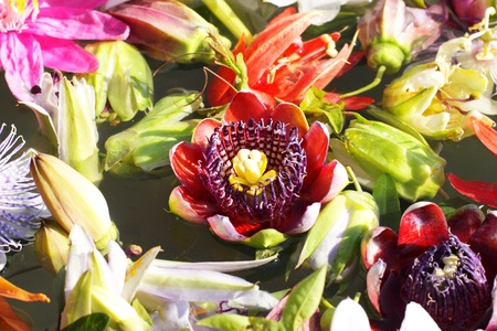 different colored passionflowers, passion flower, floating on water photo