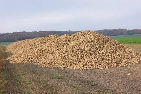 Sugar beet pile at the field after harvest photo