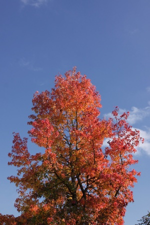 maple in autumn with red and orange leaves photo