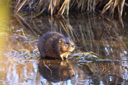 muskrat: muskrat sitting in the middle of the marsh