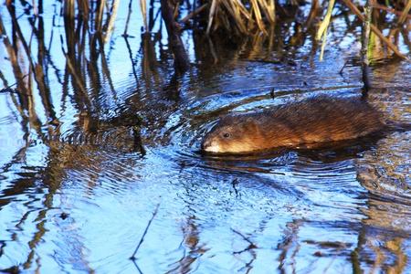 muskrat: muskrat swimming in the water of the marsh in spring Stock Photo