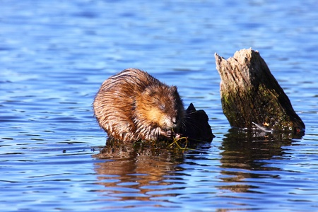 muskrat: muskrat eats algae in the middle of the water Stock Photo