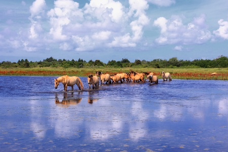 Henson horses in the marshes in bays of somme in france photo