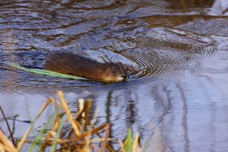 muskrat: muskrat swimming in the water of the marsh in spring Stock Photo