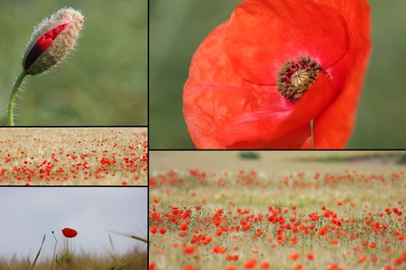 mixed collage of details of red poppies photo