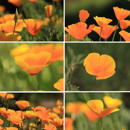 mixed collage pictures of oranges California poppies photo