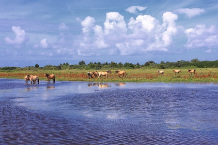Henson horses in the marshes in bays of somme in france Stock Photo - 12064116
