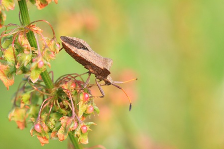 bug, bedbug brown on the delicate flower in summer photo