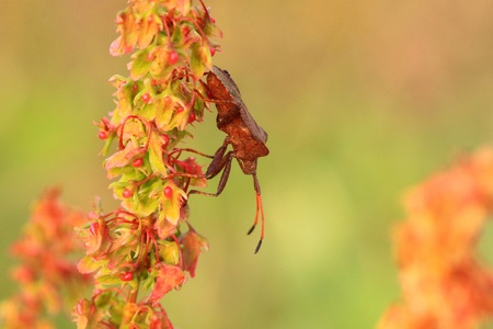 squash bug: bug, bedbug brown on the delicate flower in summer Stock Photo