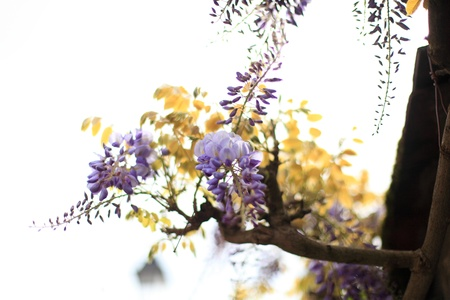glycine: wisteria flower, purple and blue against days Stock Photo