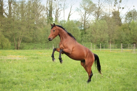 brown horse prancing in a meadow in spring photo