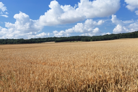 wheat fields under the sun in the summer before harvest Stock Photo - 14538332