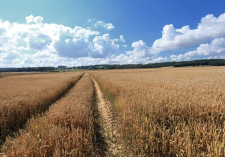 wheat fields under the sun in the summer before harvest Stock Photo - 14538330