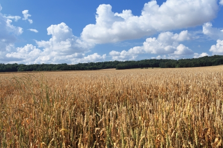 wheat fields under the sun in the summer before harvest Stock Photo - 14538373