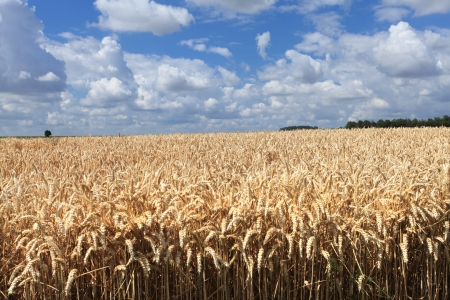 wheat fields under the sun in the summer before harvest Stock Photo - 14538374