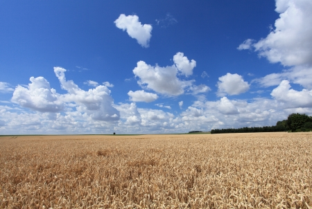 wheat fields under the sun in the summer before harvest Stock Photo - 14538375