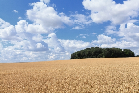 wheat fields under the sun in the summer before harvest Stock Photo - 14538378