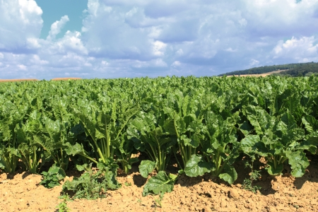 sugar beet fields in the summer sun Banco de Imagens