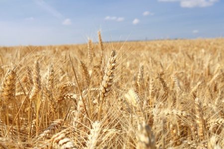 wheat fields under the sun in the summer before harvest photo