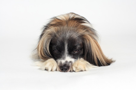 papillon dog Close-up portrait on a white background  photo