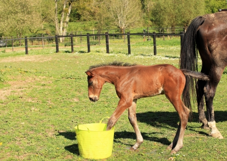 young foal who playing with a bucket of water photo